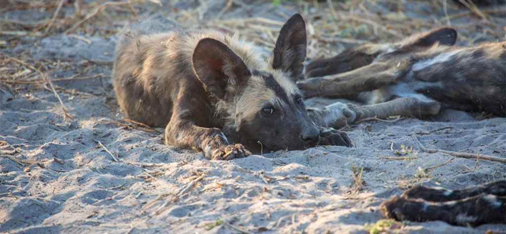 Wild Dog pup having a rest in some thick sand