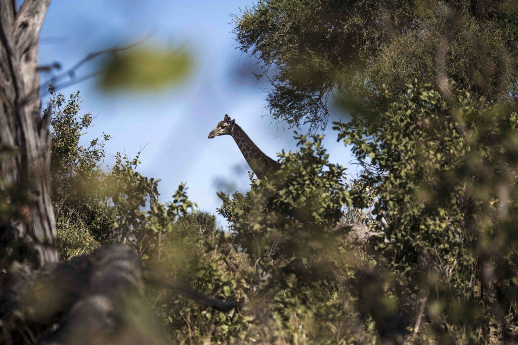 Giraffe seen through the trees in the OKavango
