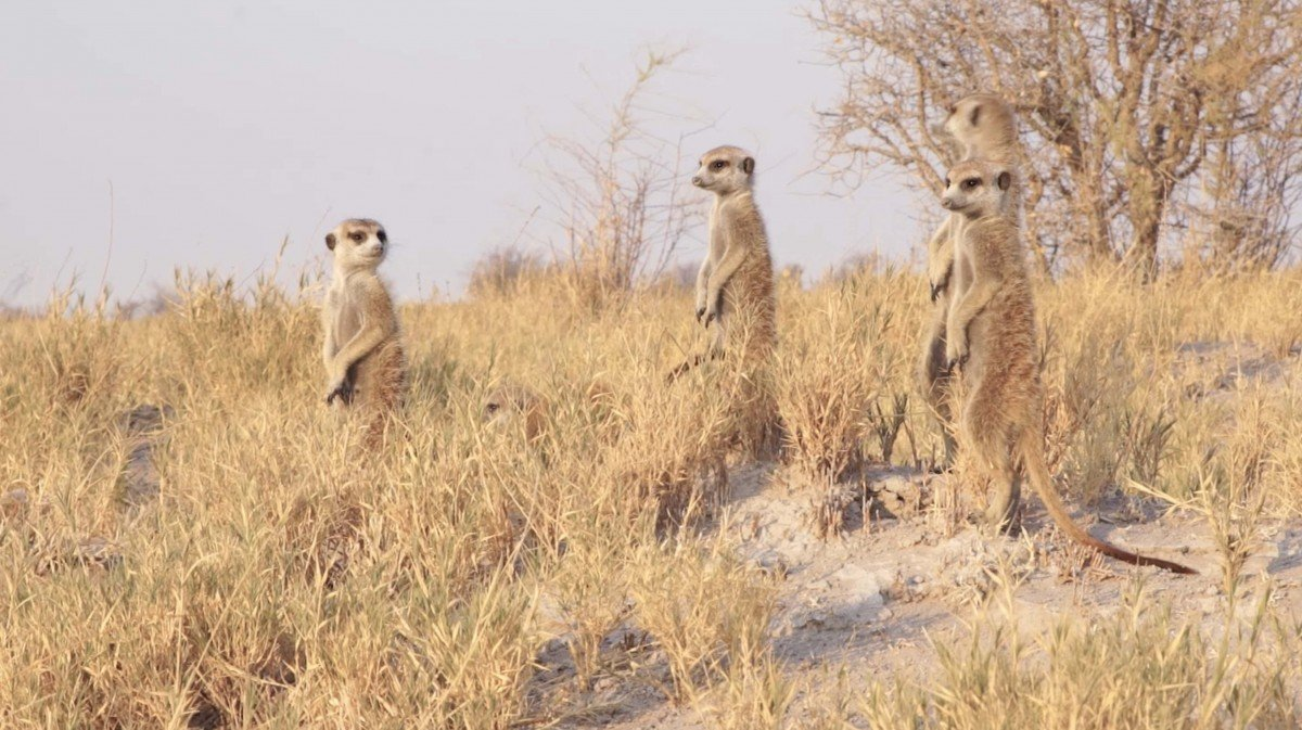 Meerkat scouts in the Kalahari Desert