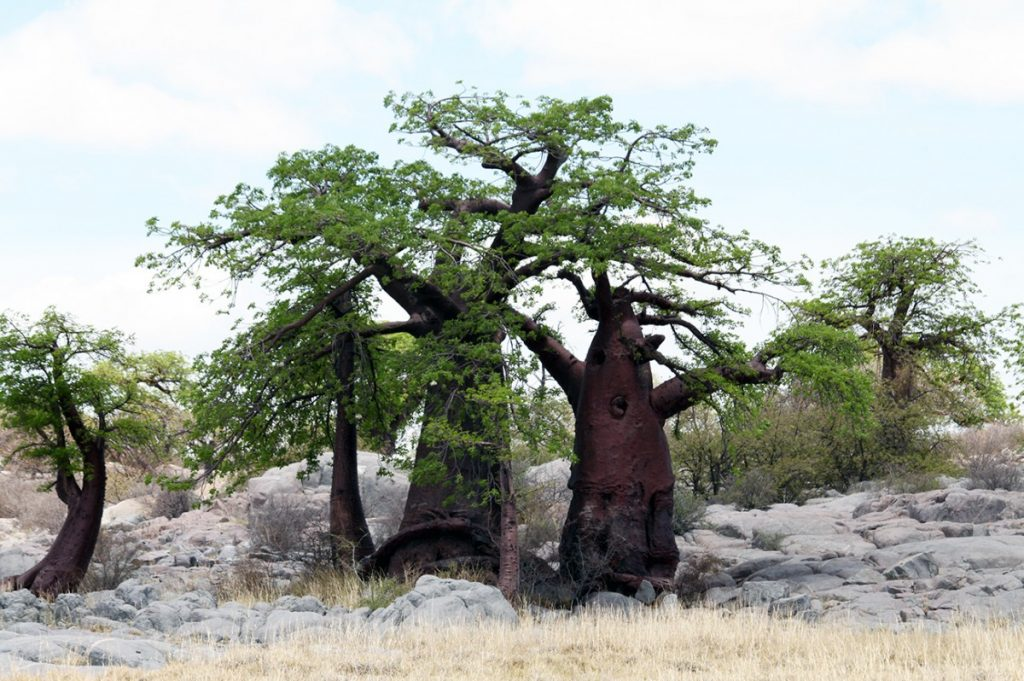 View of Baobabs at Lekubu Island
