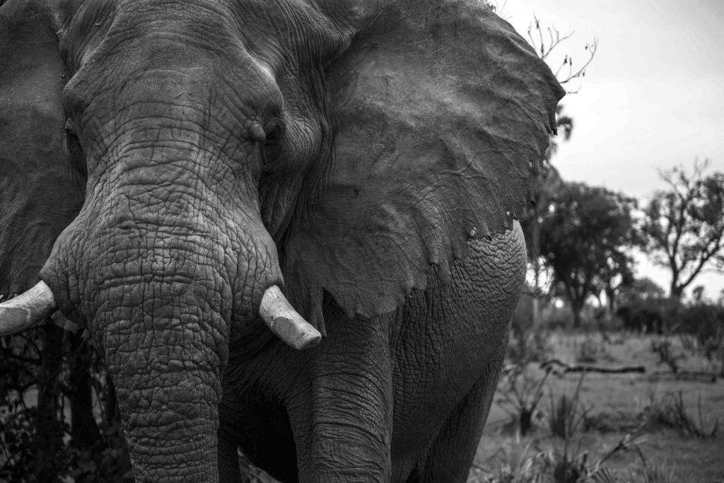 Bull elephant black and white
