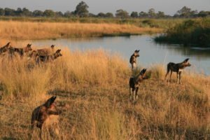 Wild Dogs at Lagoon Camp
