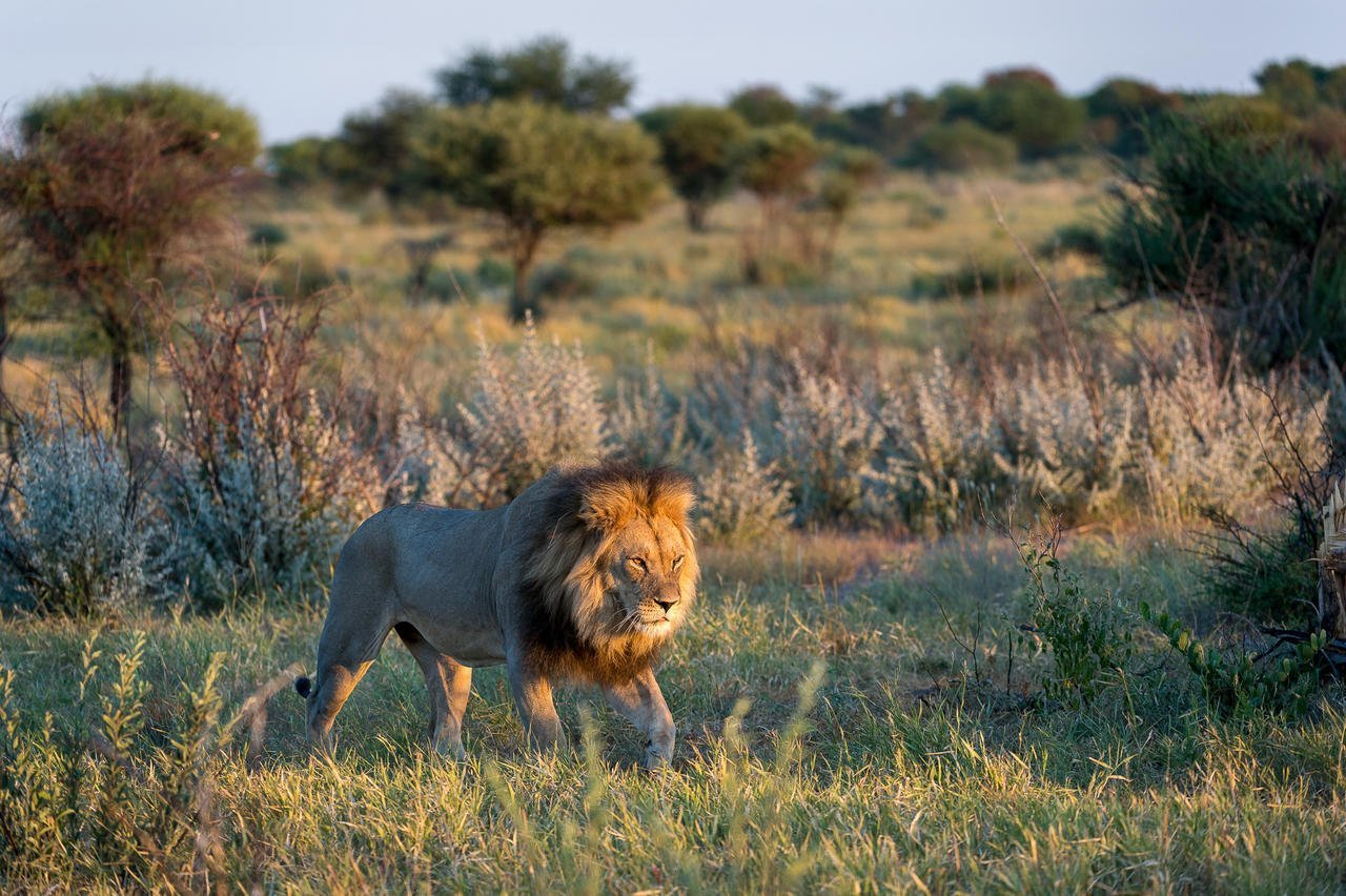 Kalahari Lion stalking prey