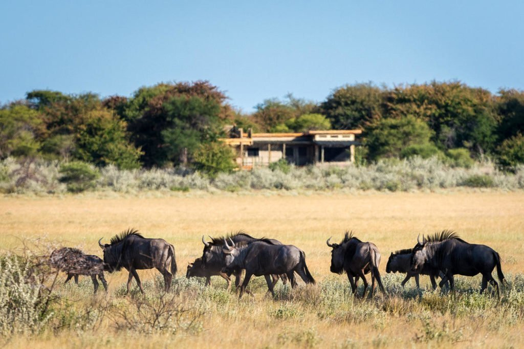 Wildebeest in front of rooms at Kalahari Plains