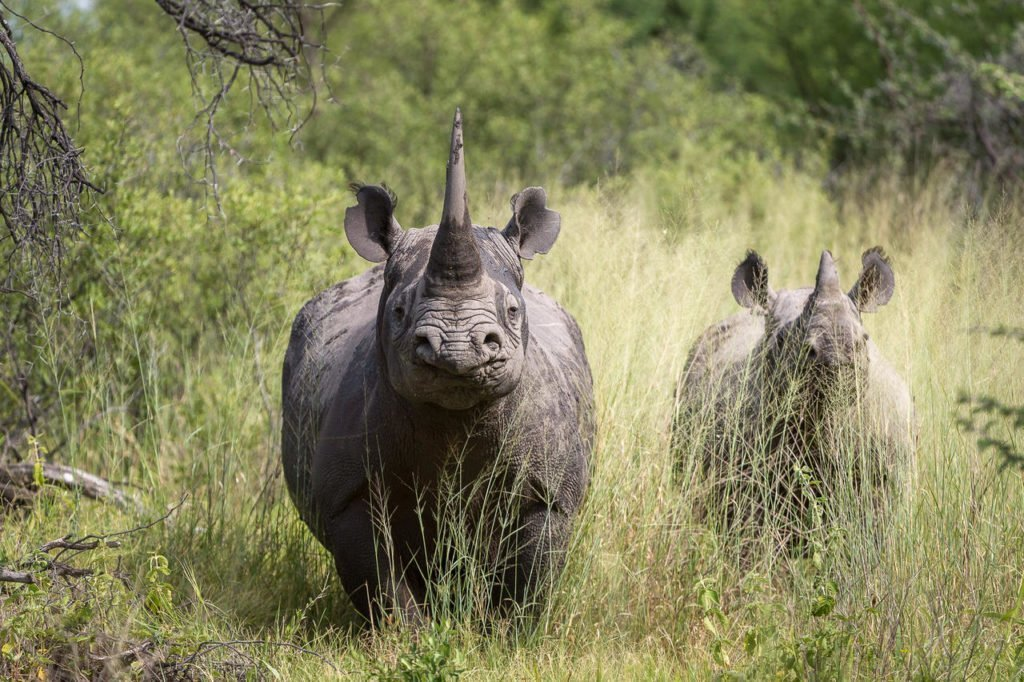 Rhinos in the Okavango Delta