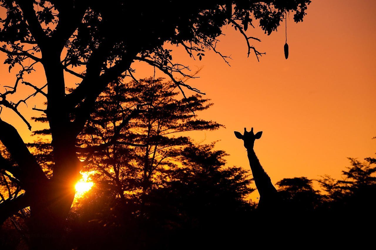 Sunset with a giraffe in the Okavango