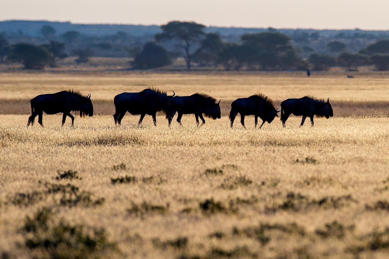 Wildebeest in the Kalahari