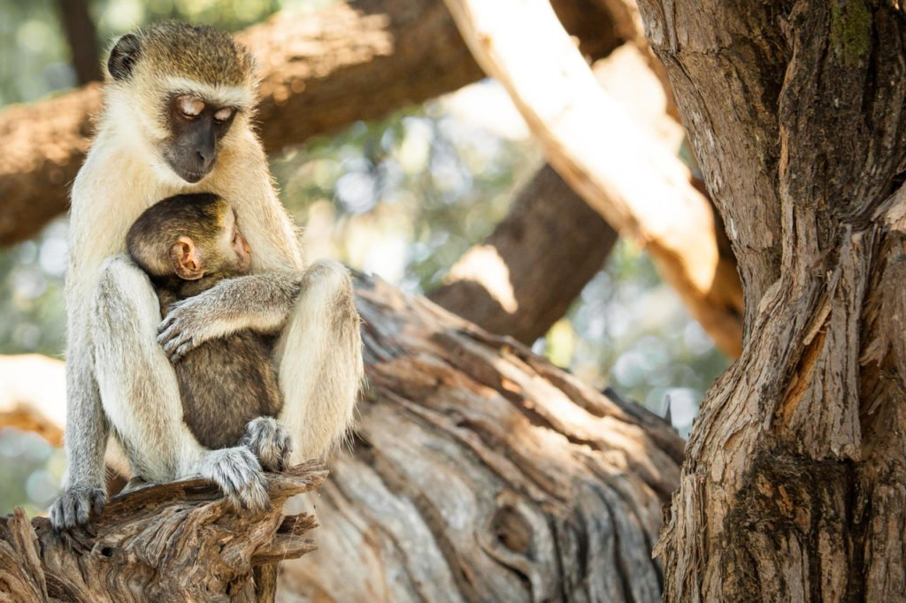 Mother moneky and Baby Monkey in Chobe