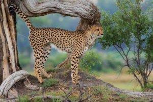 Cheetah sighting in the Okavango Delta