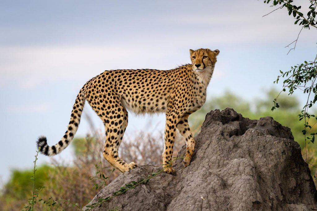 Cheetah sighting in the Okavango
