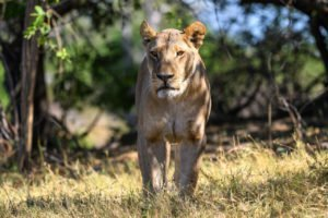 Female lion on the hunt in the Okavango
