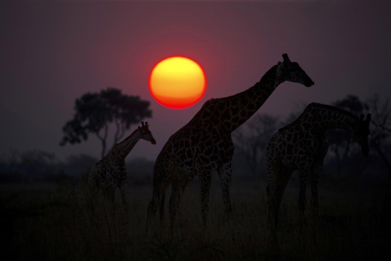 Giraffes at sunset int he Okavango