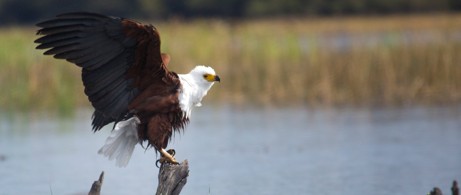 Fish eagle gets ready to take flight in the Okavango