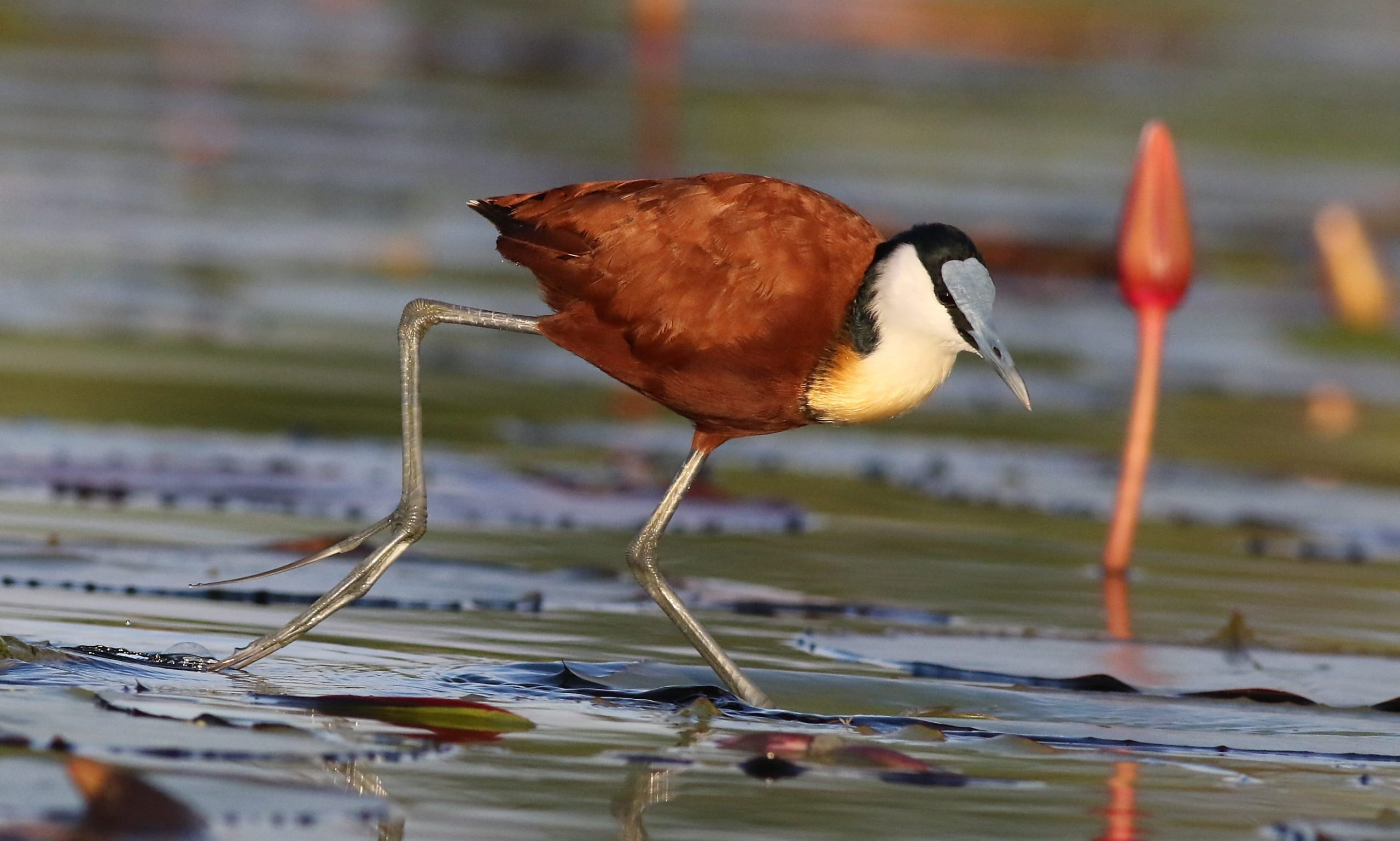 The lesser jacana is a sight to behold in the Okavango Delta