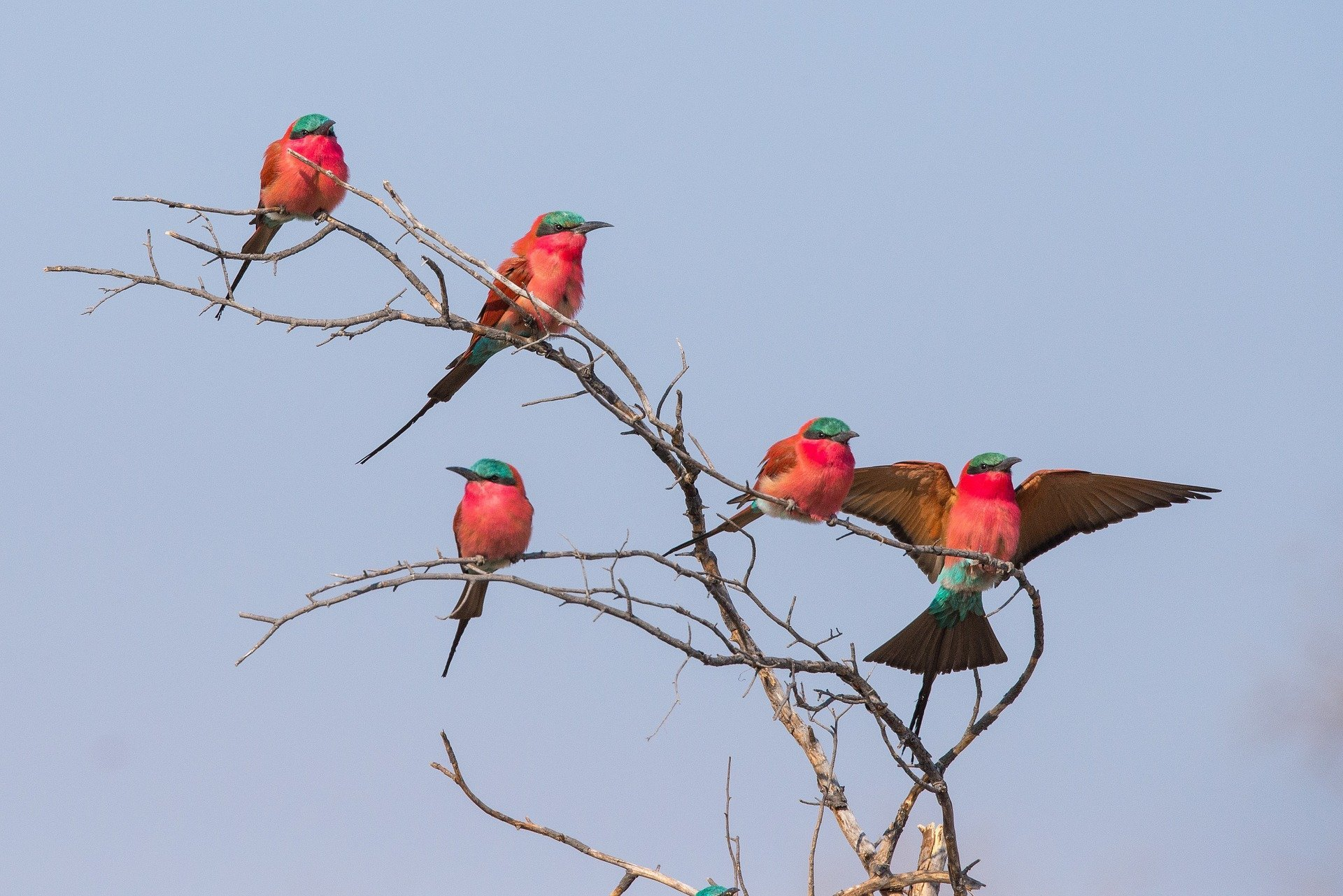 Carmine bee eaters in the Okavango Delta