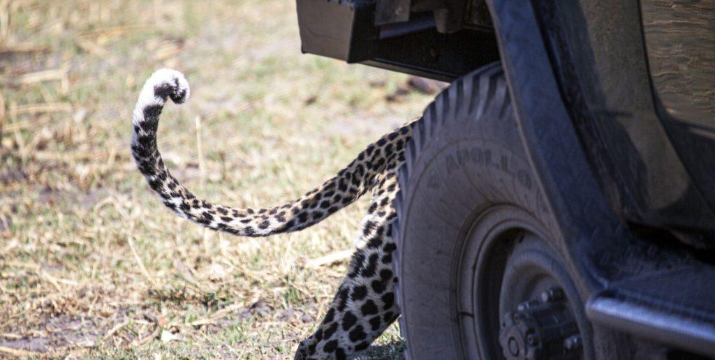 leopard hides behind game vehicle