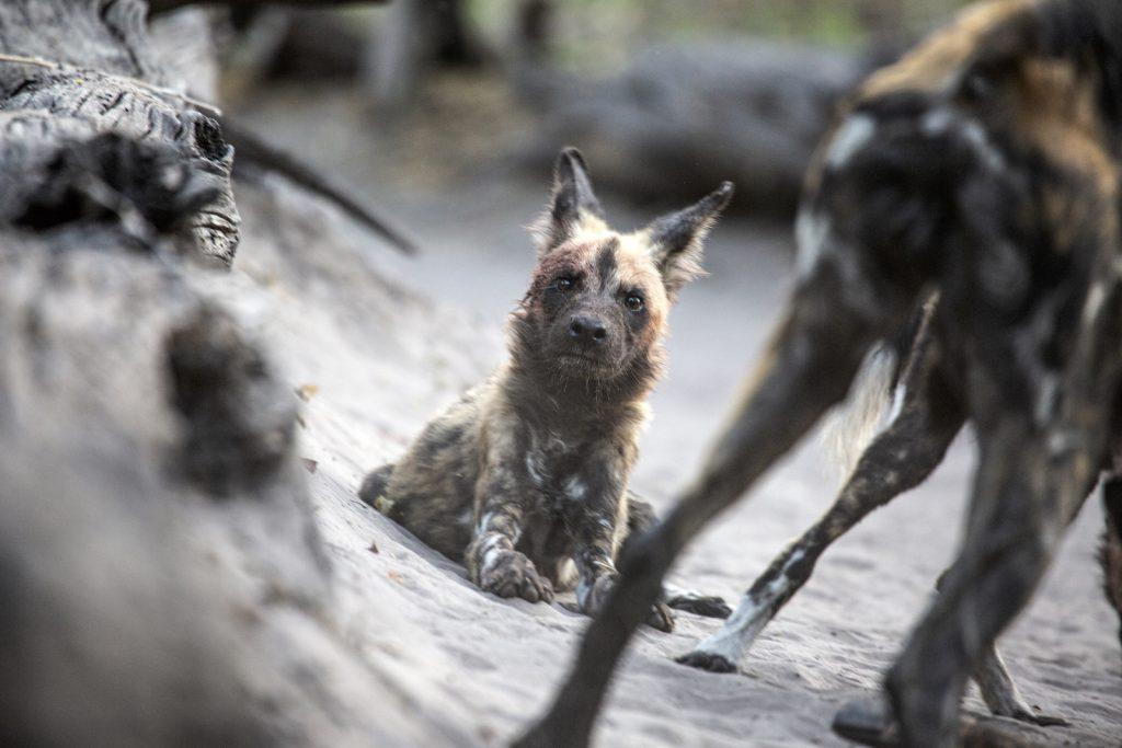 Baby Wild Dog Pup looks at camera