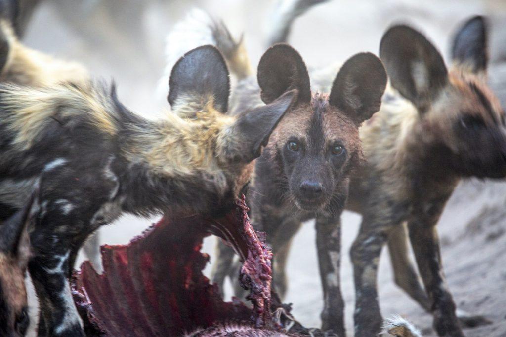 Wild Dog pups at Zarafa